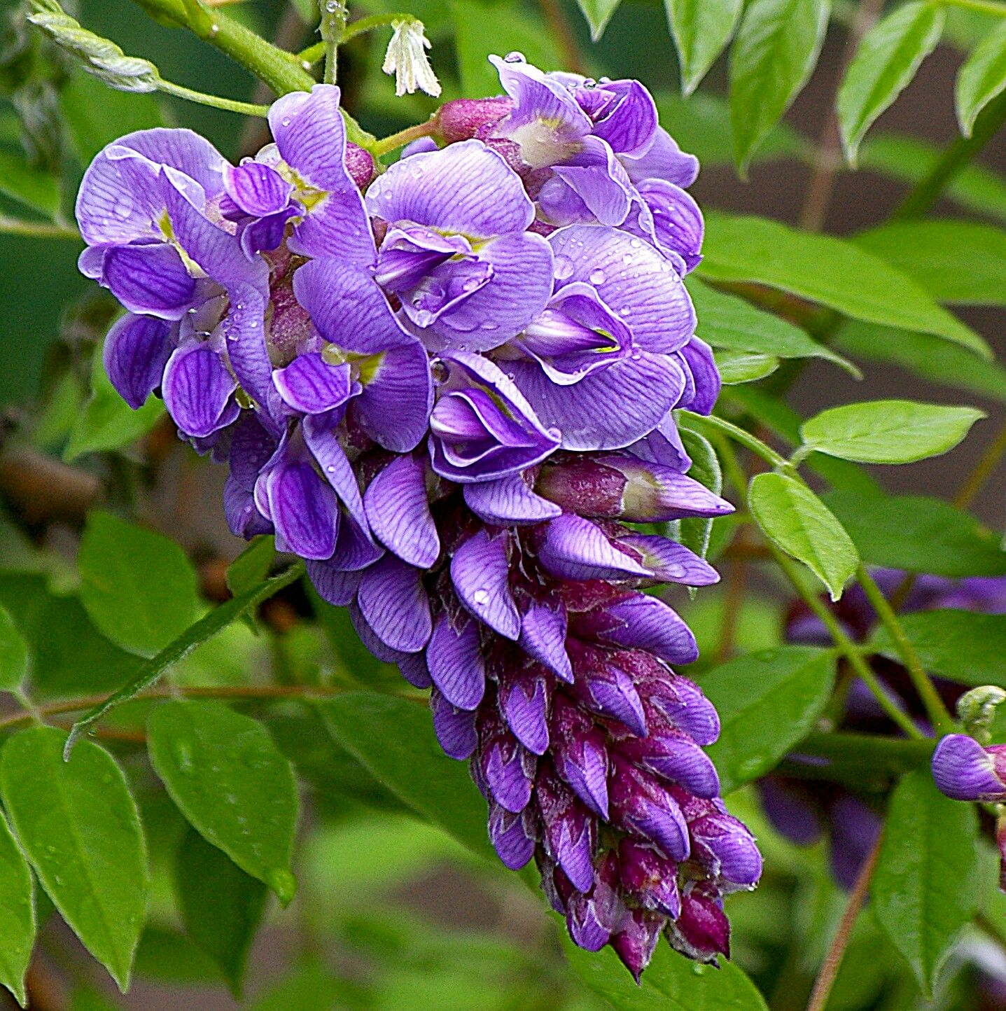 Pin By Rattana Chaichana On ดอกไม Purple Flowers Wisteria Amethyst Falls Planting Flowers