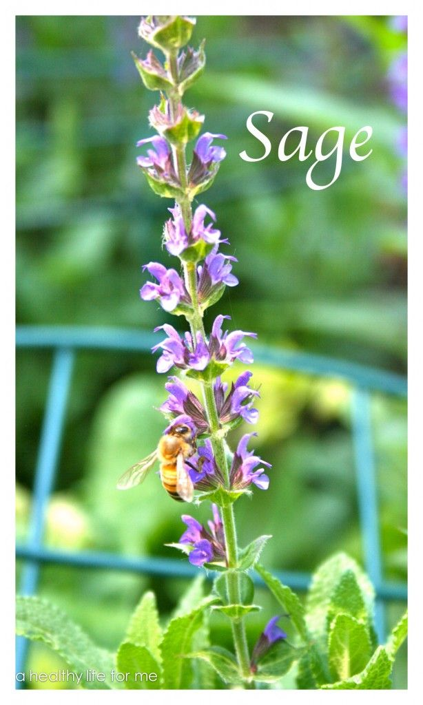 how to grow sage herbs