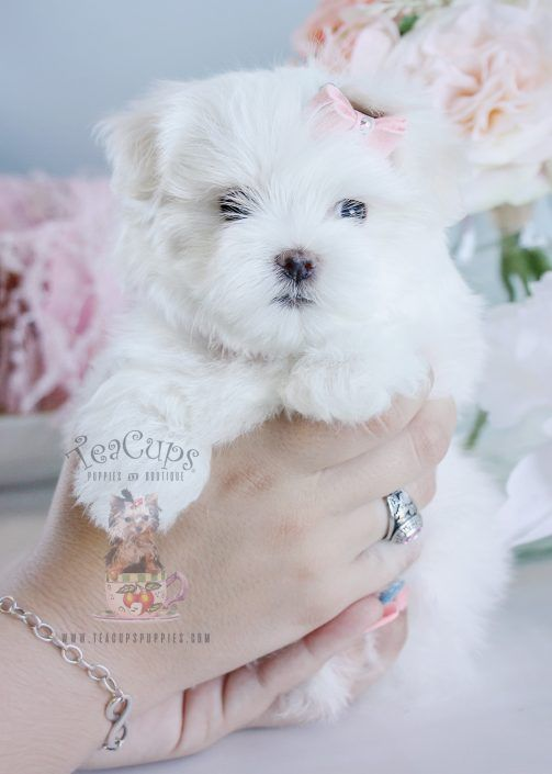 Adorable Maltese Puppy By Teacups Luxury Puppy Boutique Maltese Dogs Maltese Puppy Teacup Puppies