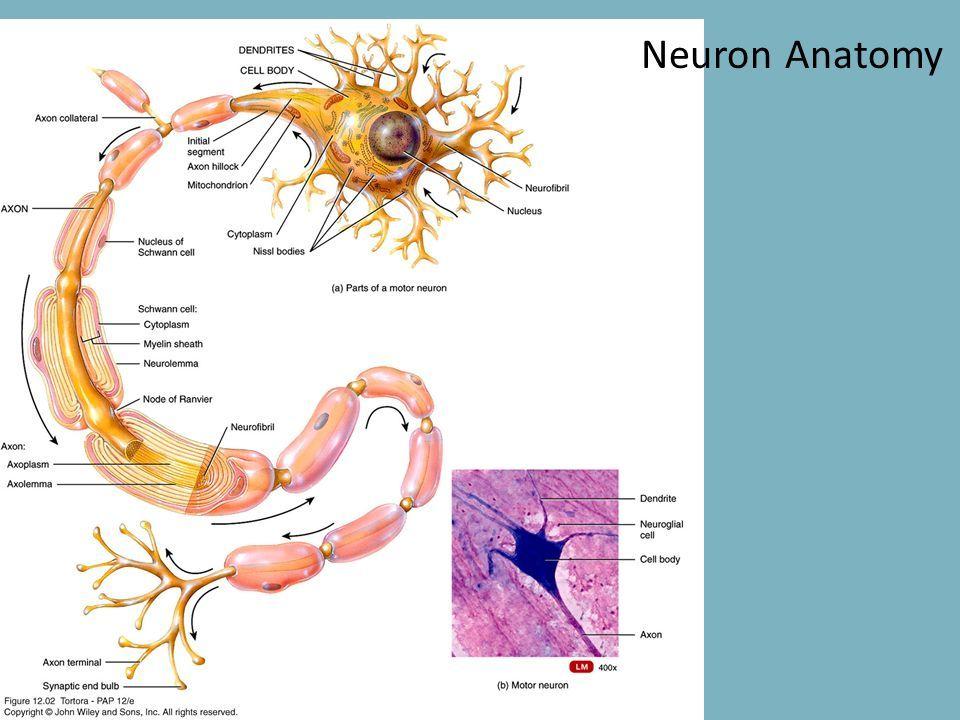 Parts of motor neuron anatomy - www.anatomynote.com | Anatomy note ...