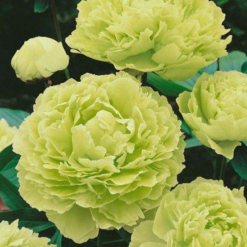 Piwonia Drzewiasta Japonska Limonkowa In 2021 Beautiful Flowers Peonies And Hydrangeas Trees To Plant