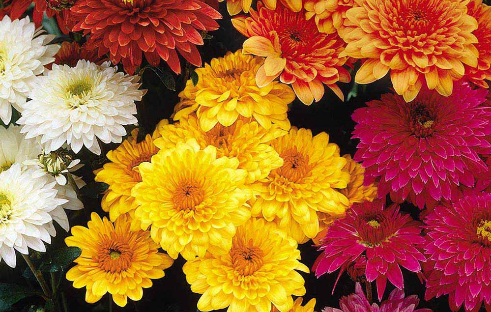 Chrysanthemum flower meaning, image source regiodom.pl