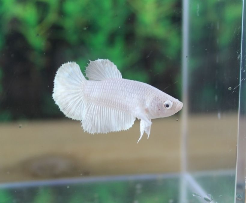 Imported pure white over halfmoon female live betta fish ella imported pure white over halfmoon female live betta fish ella sciox Image collections