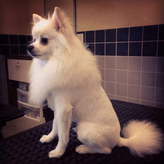 Pin on Cute animals :)White Pomeranian Lion Cut