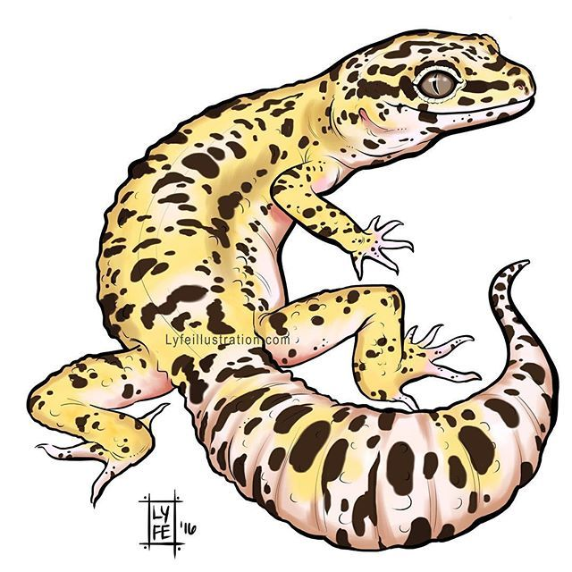 just one of the many leopard gecko color morphs there are im starting