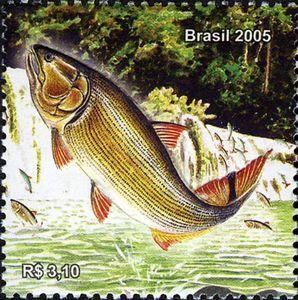 Dorado Salminus Maxillosus Dibujo Pescado Arte De Peces Peces Dibujos