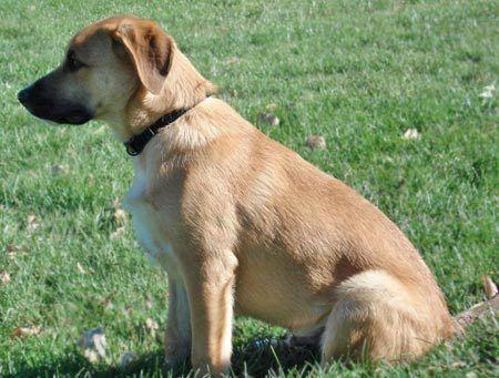 Labrador Ret/German Shepherd mix puppies- 8 weeks old