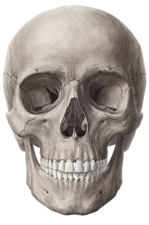Fullt Af Myndum Sem Ma Vista Fritt Png Skull Anatomy Skull Art Drawing Human Skull Anatomy