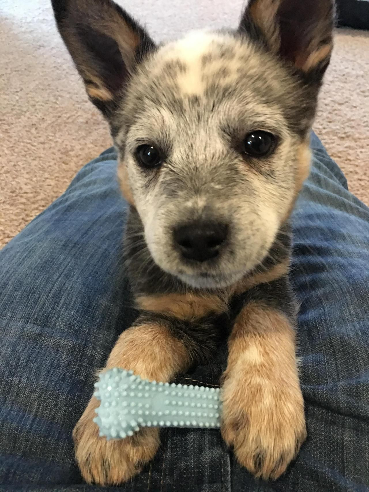 Meet Lenox Our 8 Week Old Blue Heeler Aww Cattle Dogs Rule
