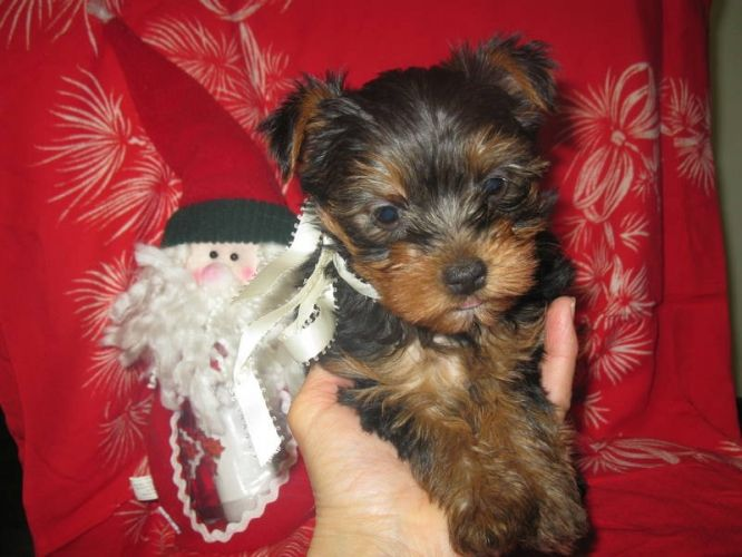 Teacup Yorkie For Sale In North Vancouver Teacup Yorkie Cute Puppy Breeds Yorkie Puppy