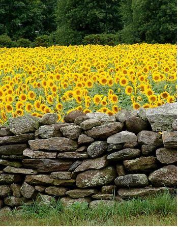 unelmoin pienestä pellosta Auringonkukkaa kiviaidan takana