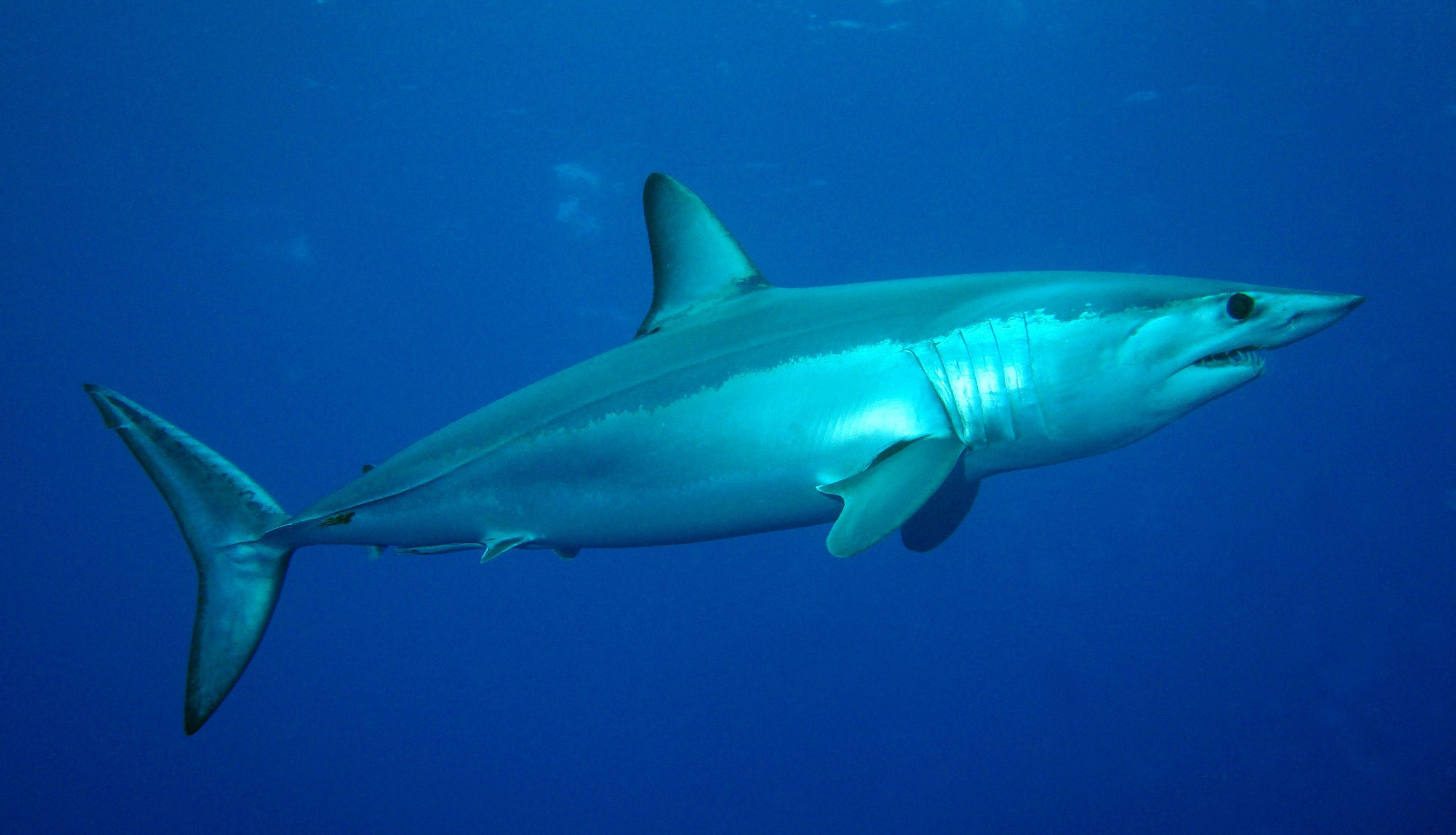 Mako Shark Wallpapers HD. Mako Shark Wallpapers Shortfin