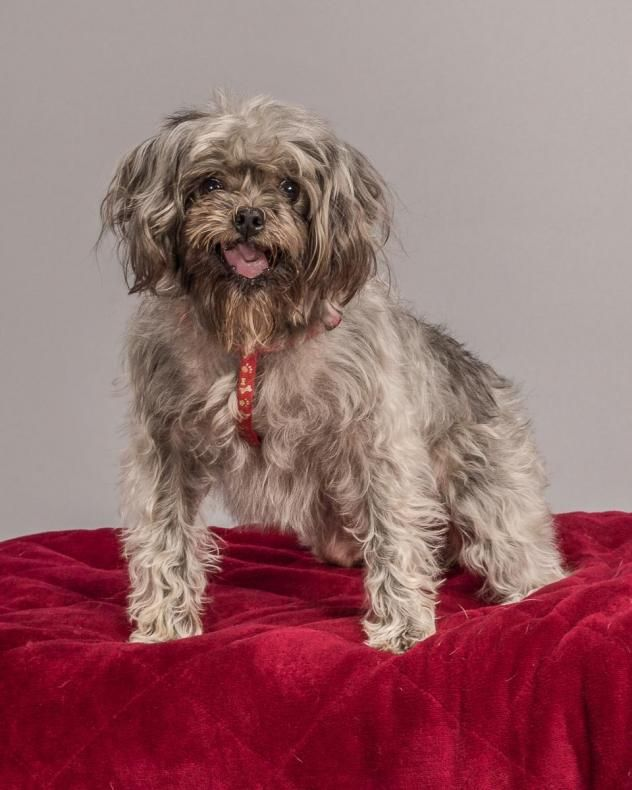 Adopt Giada On Poodle Mix Dogs Yorkie Poo Shih Tzu Poodle Mix