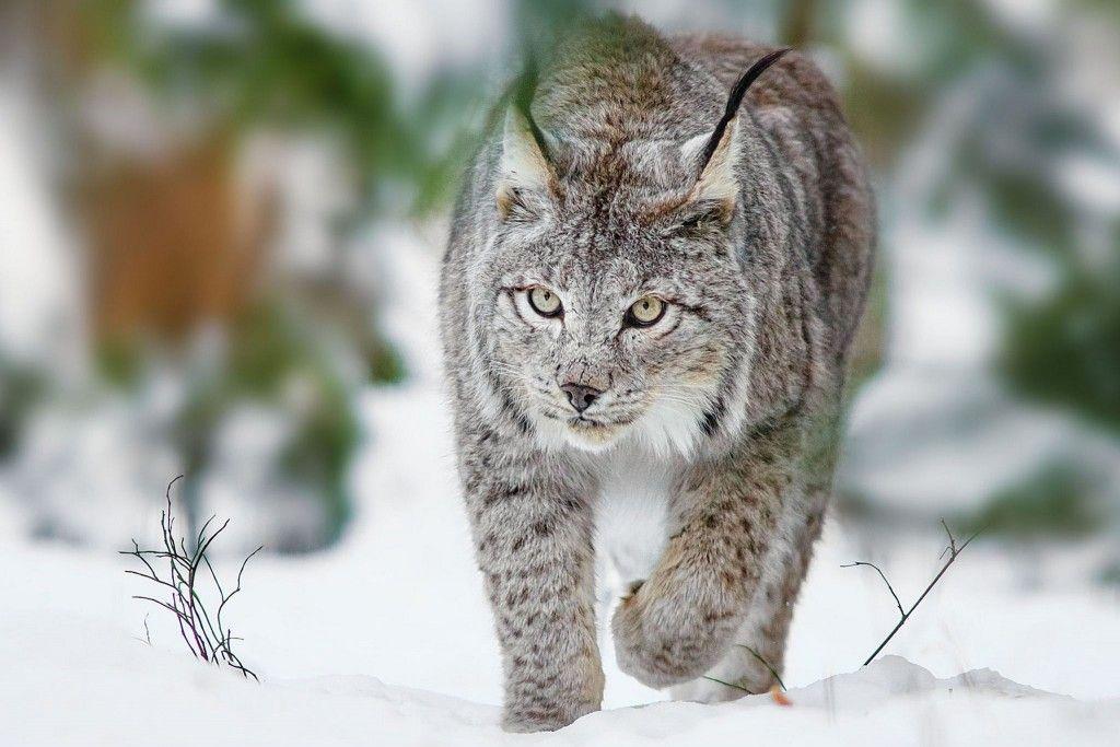 30 Stunning Hd Lynx Wallpapers Big Cats Lynx Cats
