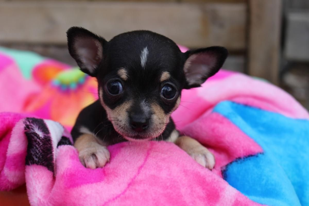 Female Teacup Chihuahua Two Sets Of Shots Included 9 Weeks Old