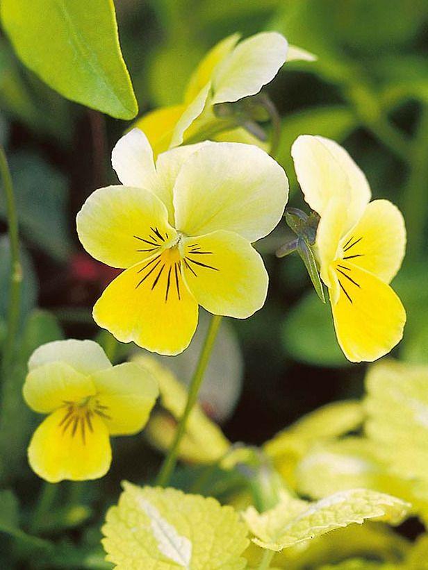 Plants C Choisya Page 4 Pansies Flowers Beautiful Flowers Pansies