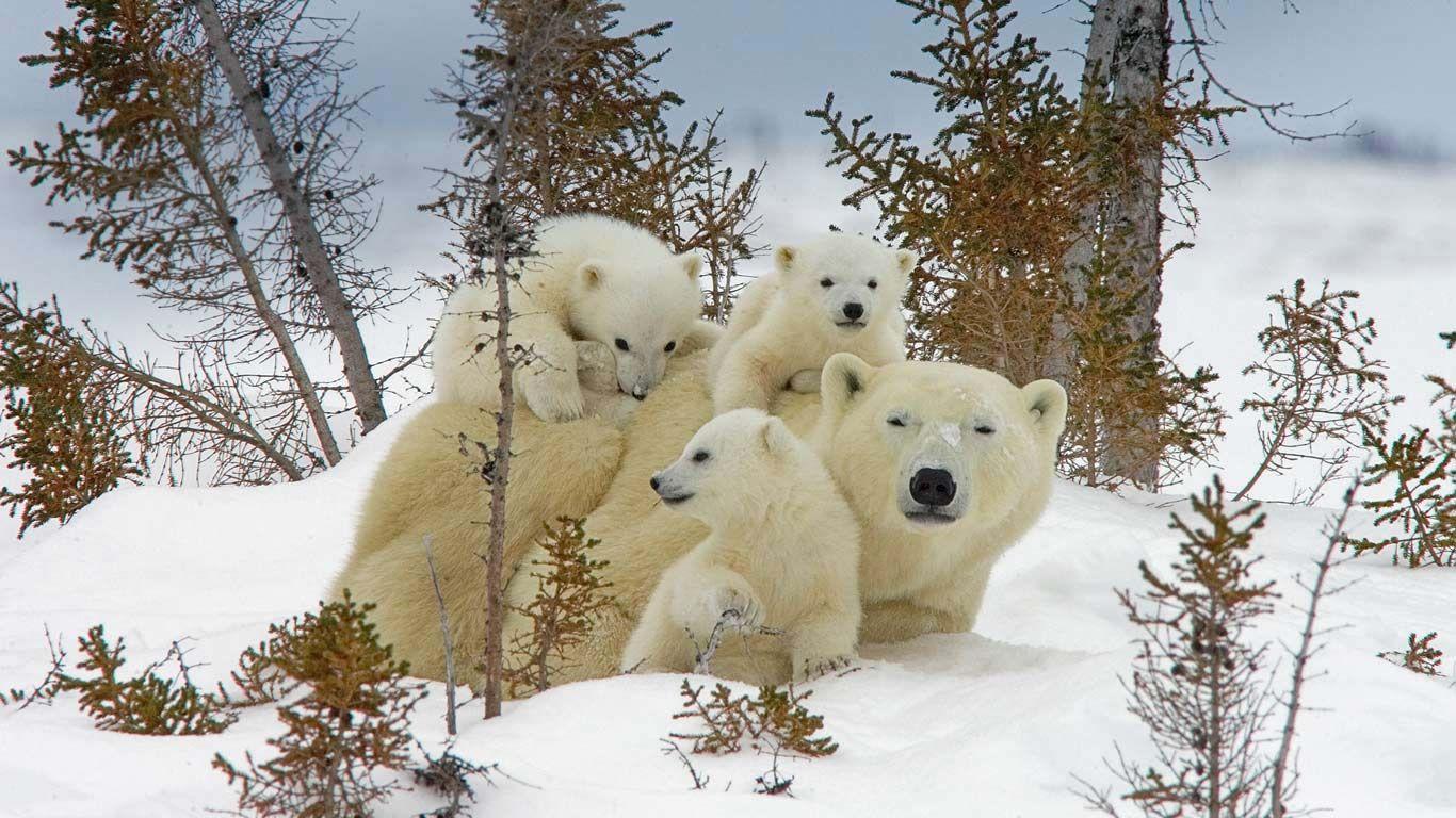 Mama polar bear and cubs in Manitoba's Wapusk National