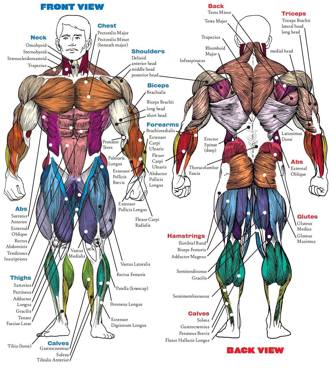 Muscle Anatomy Bodybuilding Book Muscle Anatomy Book Human Anatomy ...