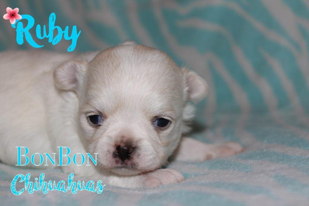 Chihuahua Puppies For Sale Chihuahua Puppy Sites Chihuahua