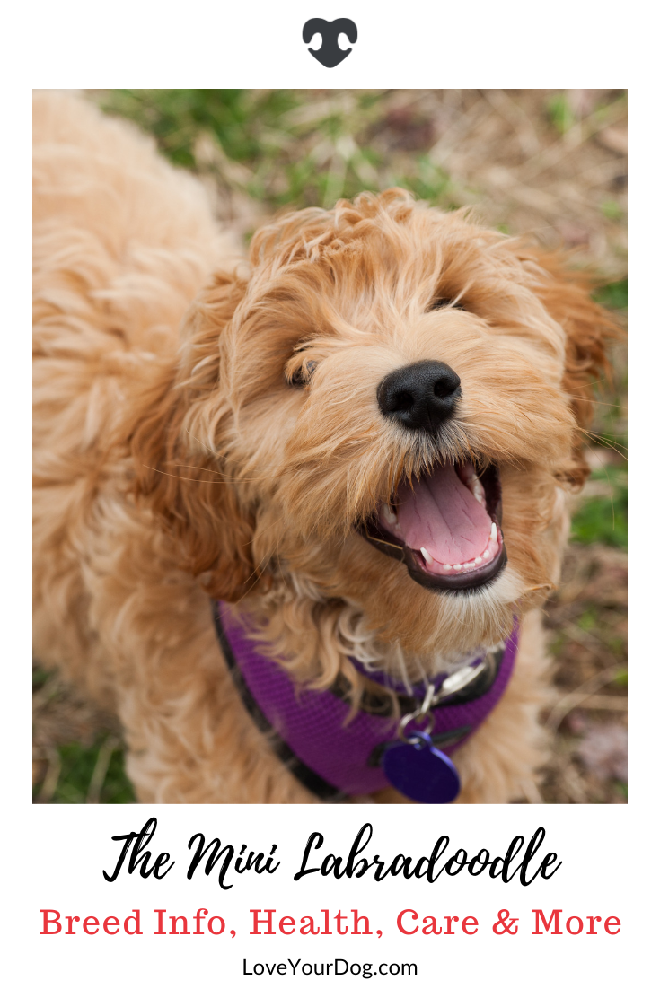 Mini Labradoodle Breed Information Facts Traits Puppy Costs More Labradoodle Labradoodle Mini Puppies
