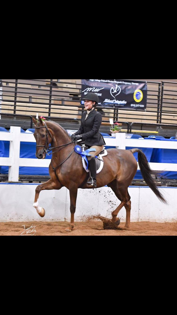 Saddlebred hunter Ciroc American saddlebred, Horses, Animals