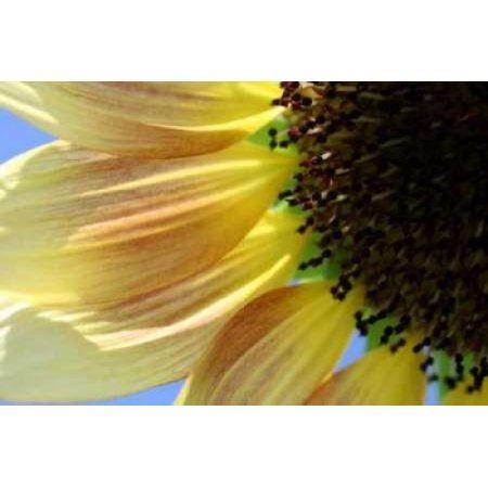 Sunflower III Canvas Art - Tammy Putman (12 x 18)