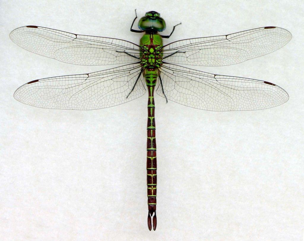 Coryphaeschna Adnexa Mtv Digital Dragonflies Dragonfly Photos Dragonfly Photography Dragonfly Insect