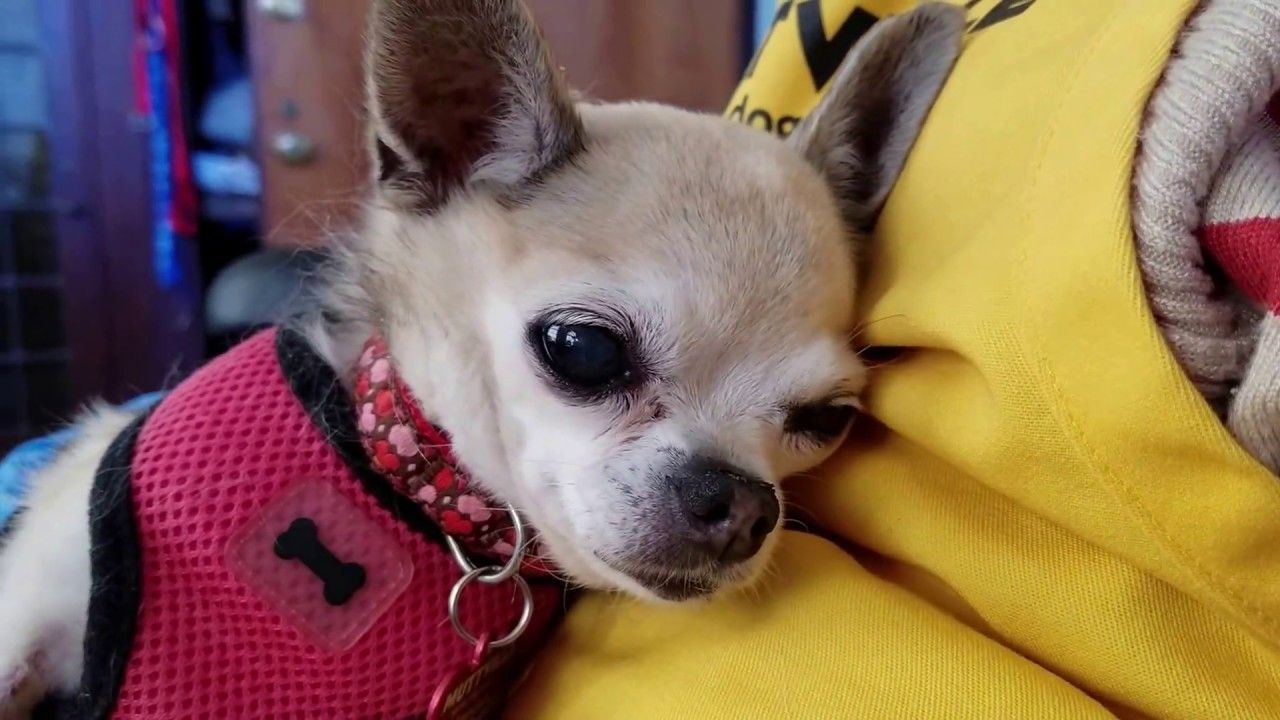 Gertrude A Female Chihuahua At Muttville Senior Dog Rescue She Is