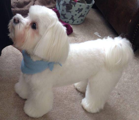 Favorite Blunt Bob Hairstyle Maltese Haircut Maltipoo Haircuts Maltese Puppy