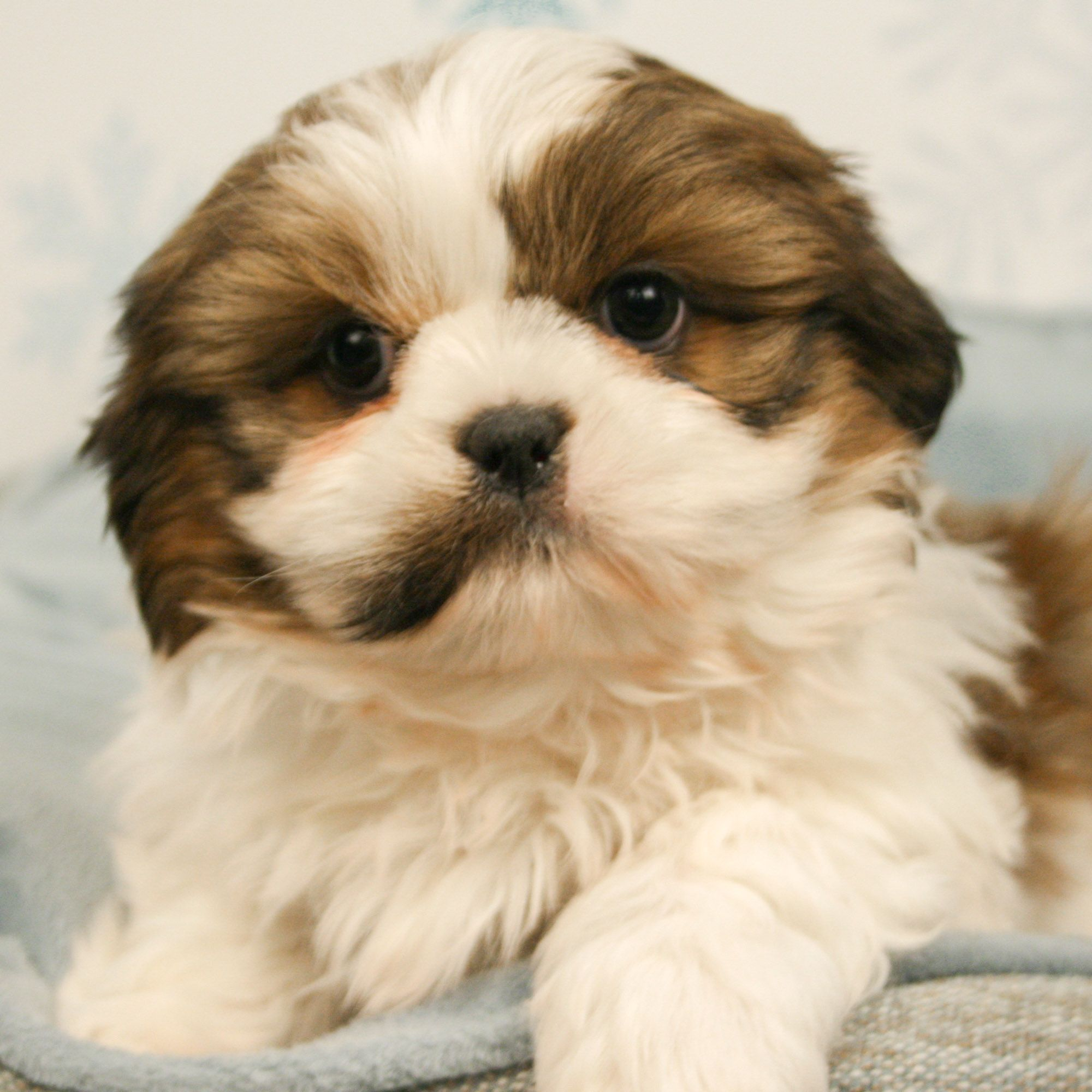 Available Puppies For Sale Puppies Animals Pets