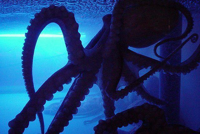 Octopus Octopus Underwater World Sea Life