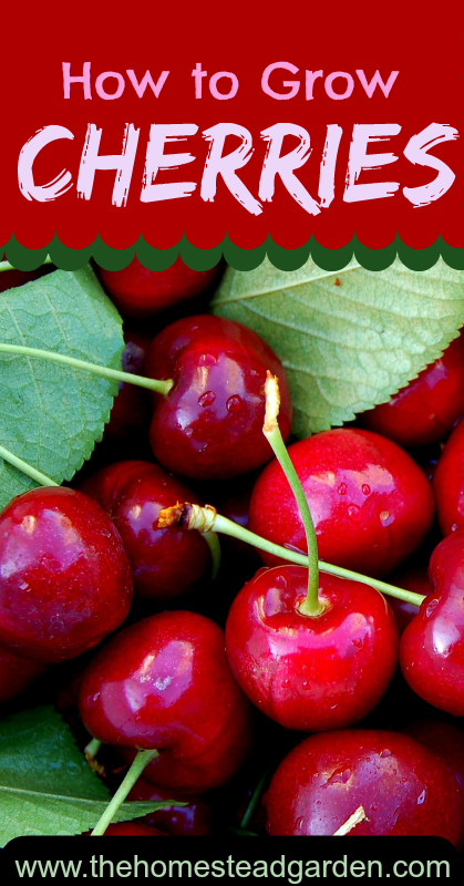 Planting Cherries How To Grow How To Grow Cherries Sour Cherry Tree Planting Cherry Trees