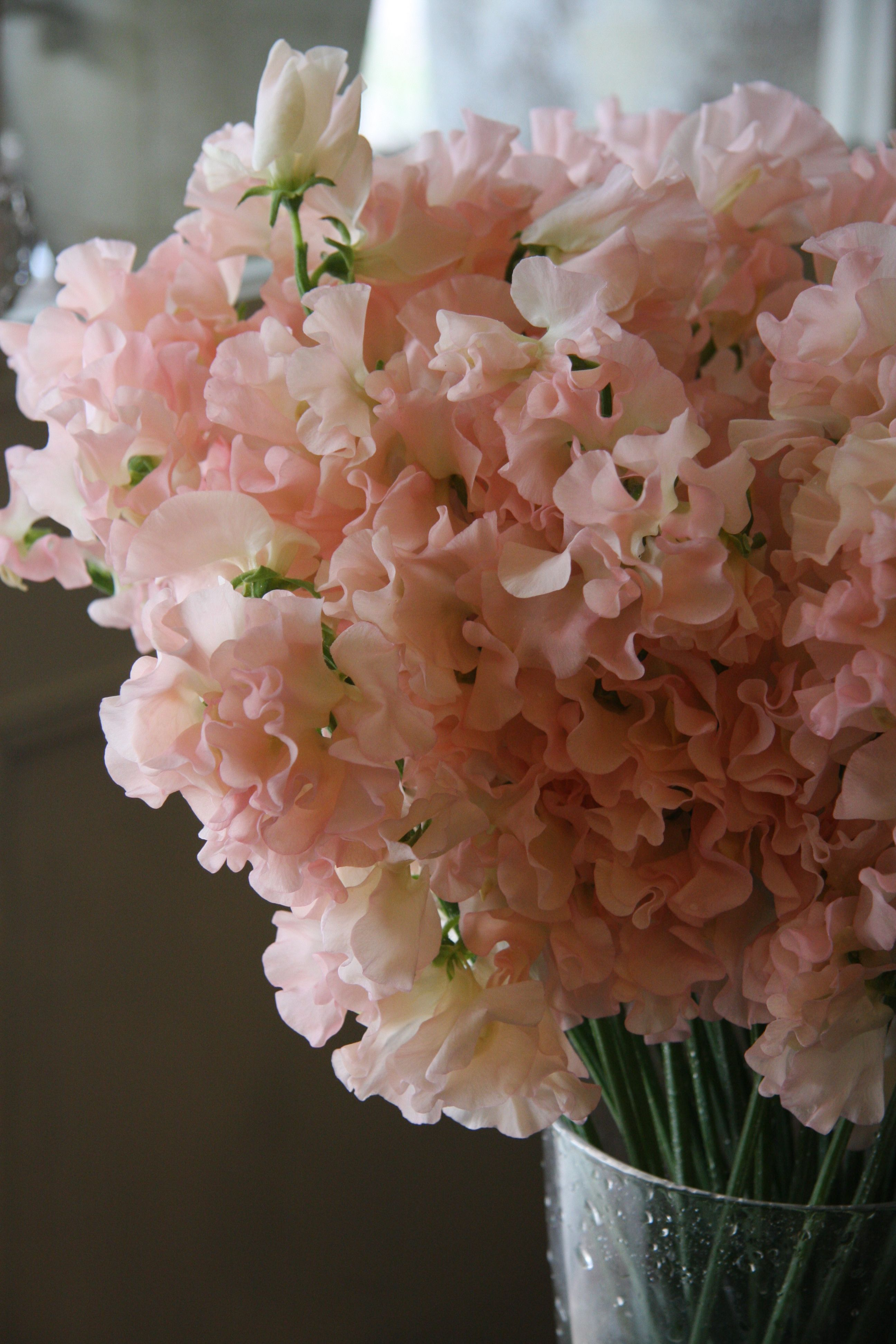 Pale peach and pink Sweet Peas The scent is always incredible
