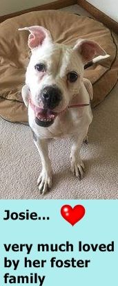 GONE 9/22/2016 --- SAFE 9-17-2016 by Amsterdog Animal Rescue  --- SUPER URGENT Brooklyn Center  My name is JOSIE. My Animal ID # is A1088676. I am a spayed female white and br brindle am pit bull ter and amer bulldog mix. The shelter thinks I am about 5 YEARS old.  I came in the shelter as a STRAY on 09/06/2016 from NY 11374, owner surrender reason stated was STRAY.   http://nycdogs.urgentpodr.org/josie-a1088676/