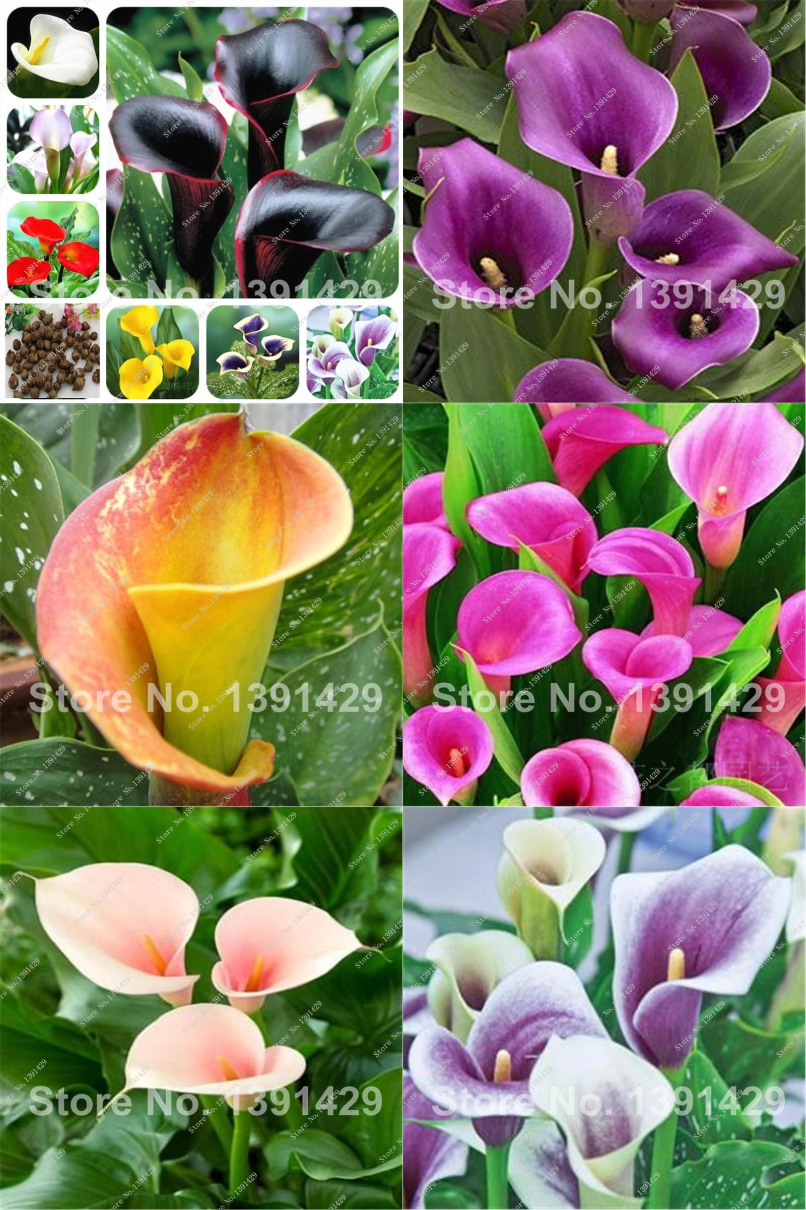 Visit To Buy New Promotions Bonsai And Colorful Calla Lily Seed
