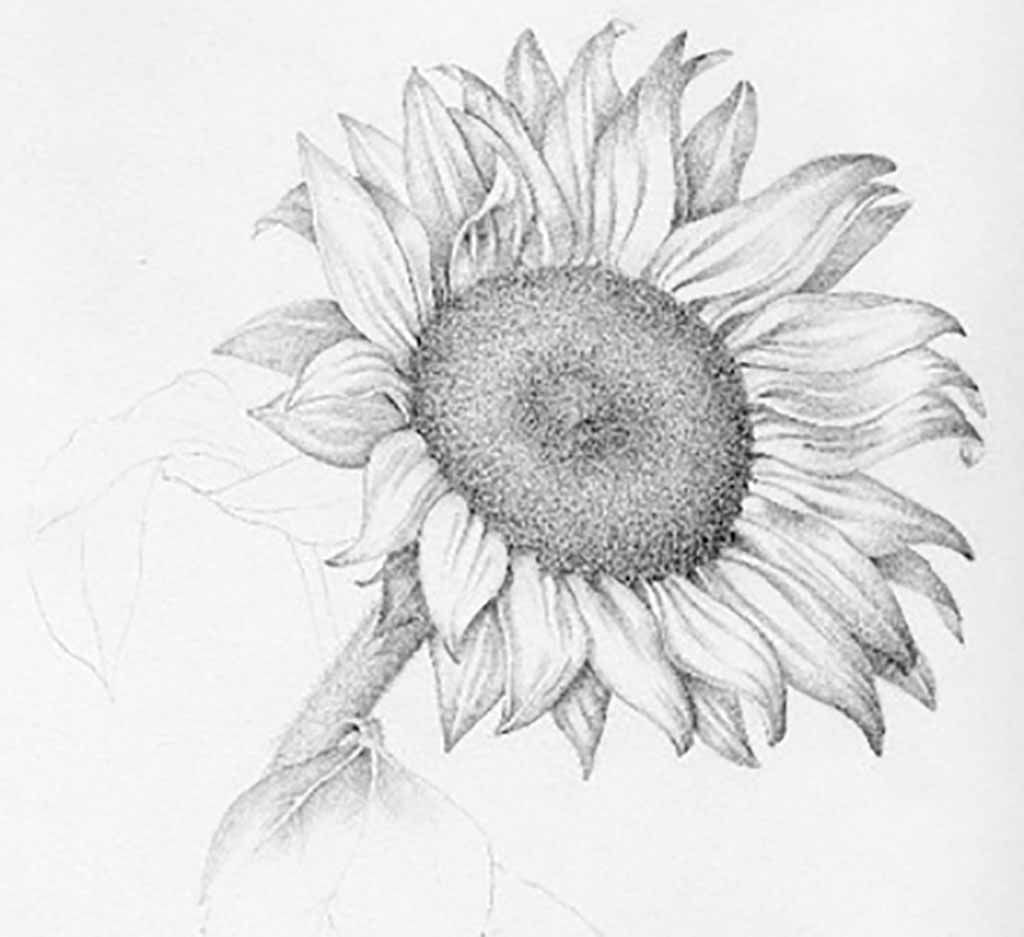 Drawings Of Sunflowers In Pencil Flower Drawings: 42 Am...