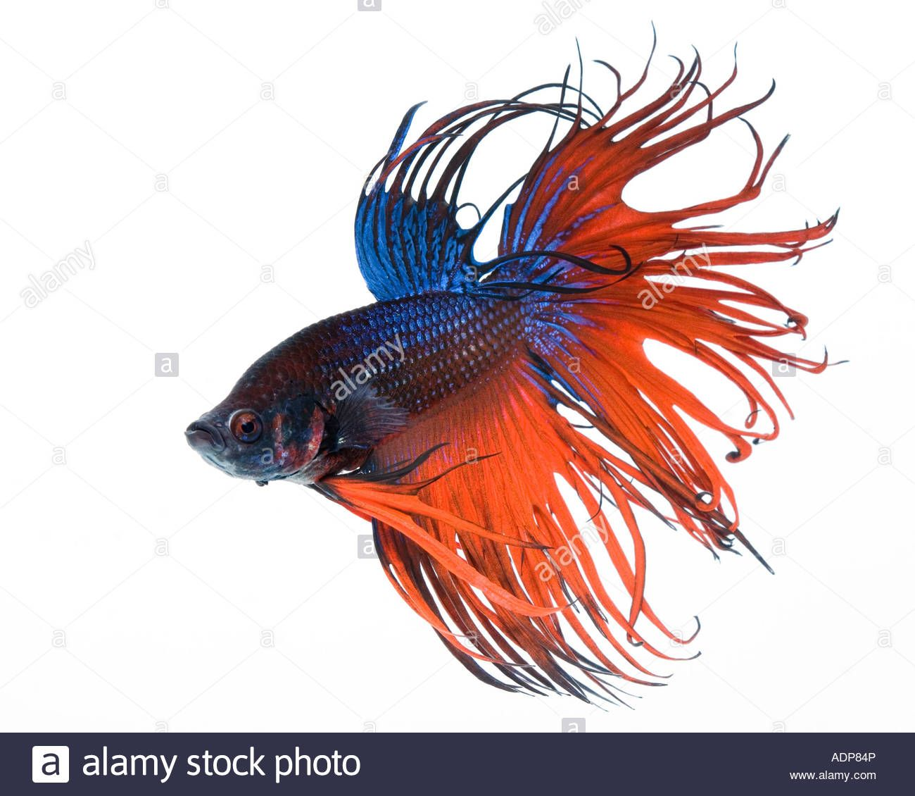 Red And Blue Crown Betta Fish With A White Background From The Blue Crown White Background Betta