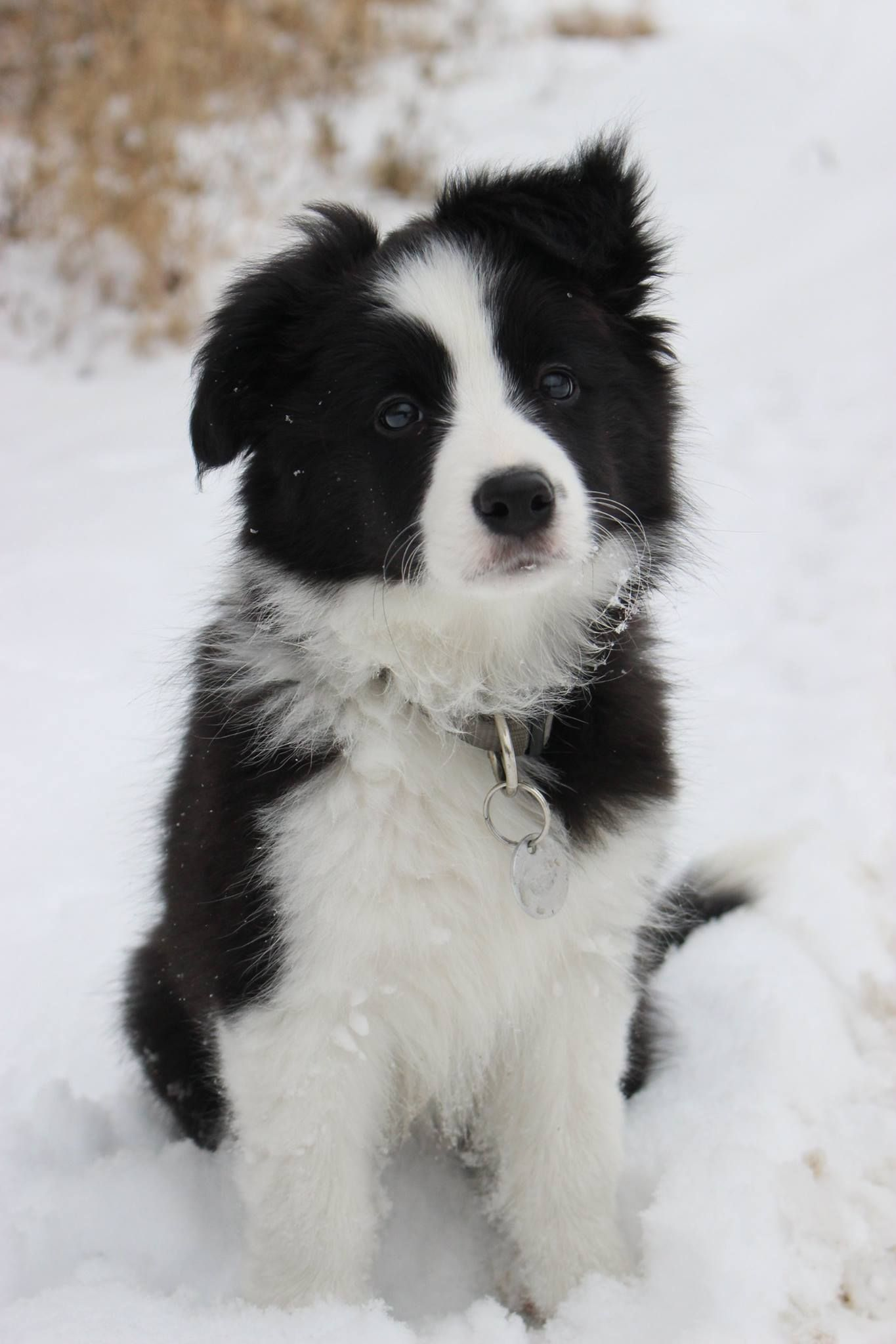 Snow Snow Black White Snow Snow Amy Amytheboc Puppy Somuchsnow Border Collie Dog Border Collie Puppies Collie Puppies