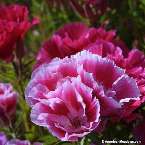 Godetia Seeds Wildflower Seeds Flower Landscape Wild Flowers