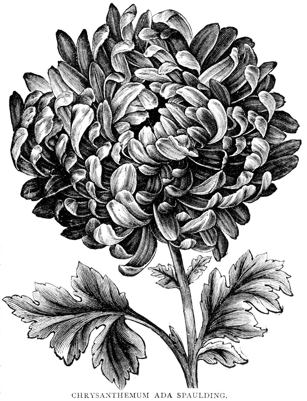 Digital Two For Tuesday Carnations And Mums Flower Drawing Pencil Drawings Of Flowers Botanical Drawings
