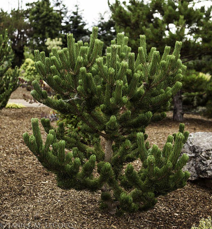 Small Ornamental Trees Oregon: Pinus Nigra 'Oregon Green'