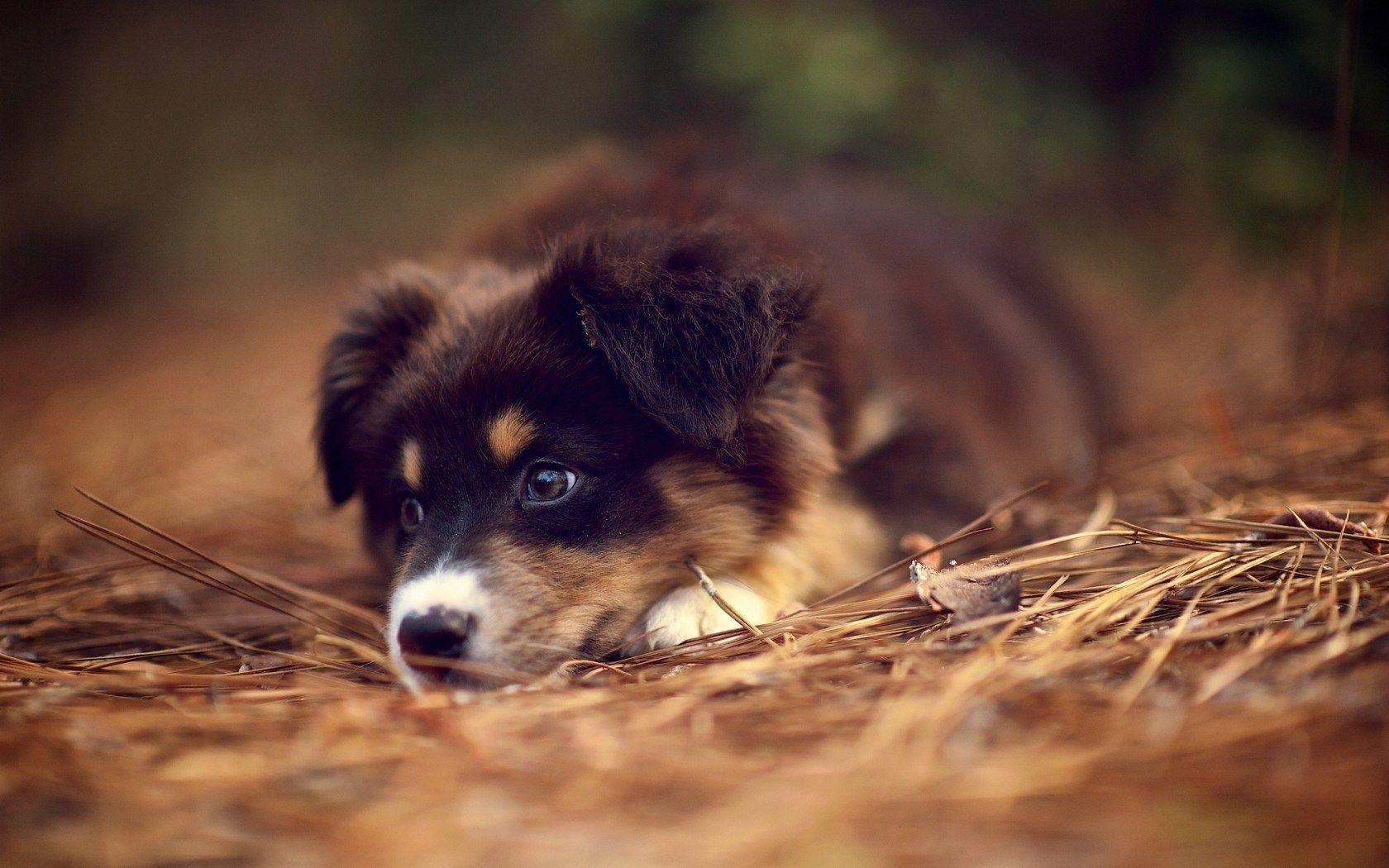 Australian Shepherd Puppy Pets Hunde Und Hunde Fotos