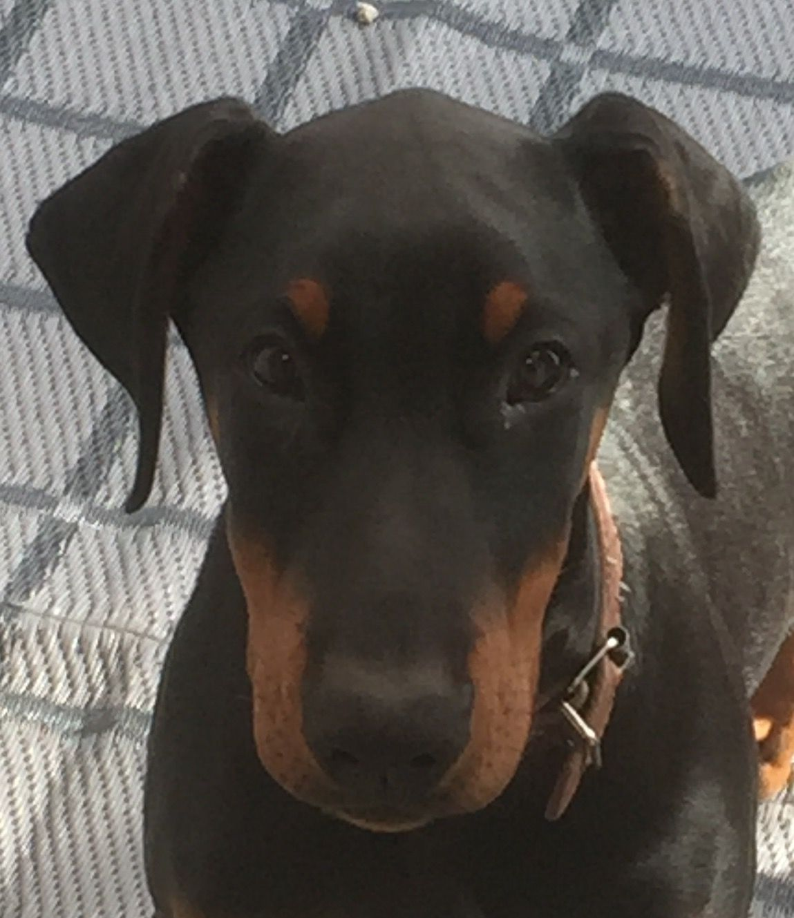 Cute As Doberman Doberman Love Doberman Dogs