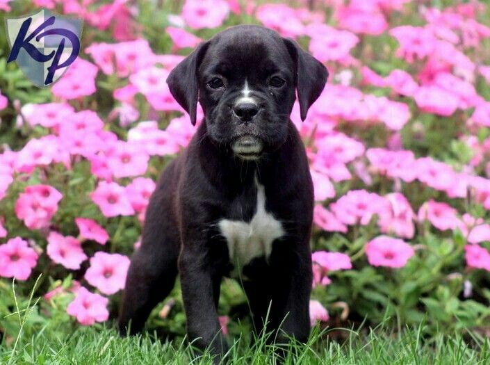 Pin by Kathryn Brightwell on Dogs Boxer puppies, Boxer