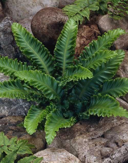 Evergreen ferns too pretty not to pin garten garden for Pflanzen evergreen