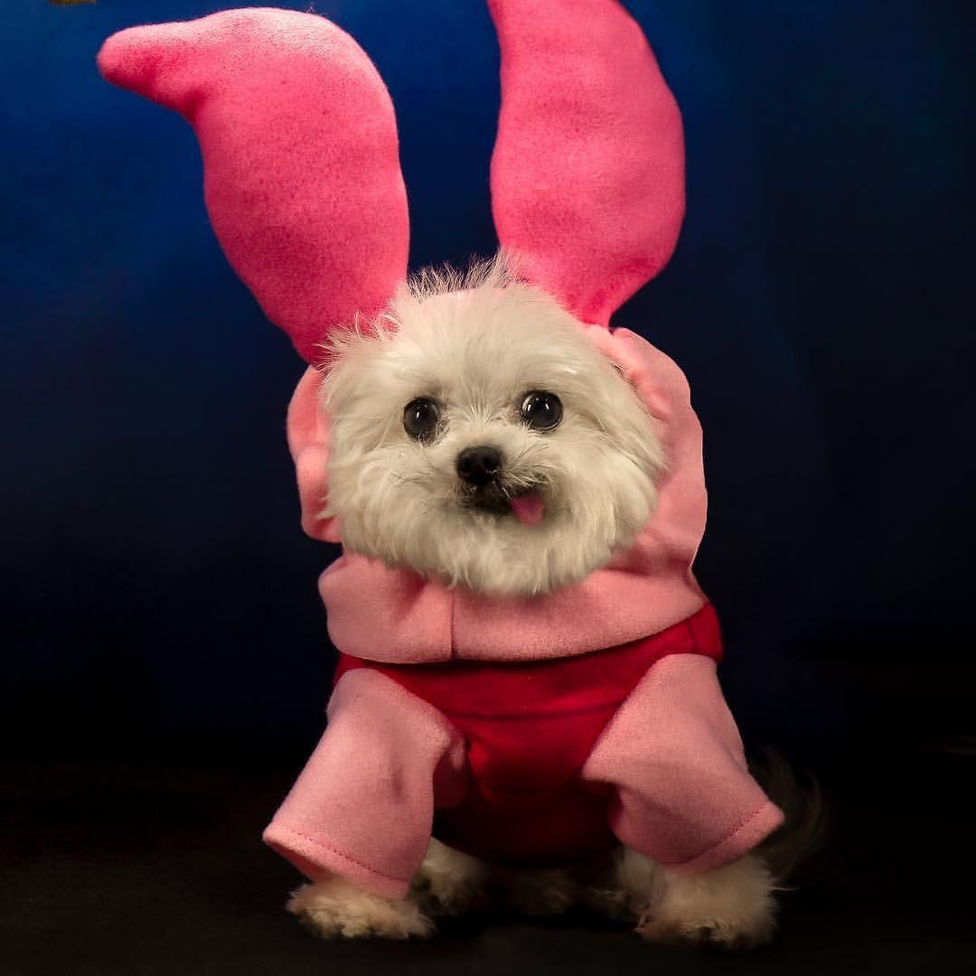 Norbert On Instagram Piglet And Shih Tzu Puppy