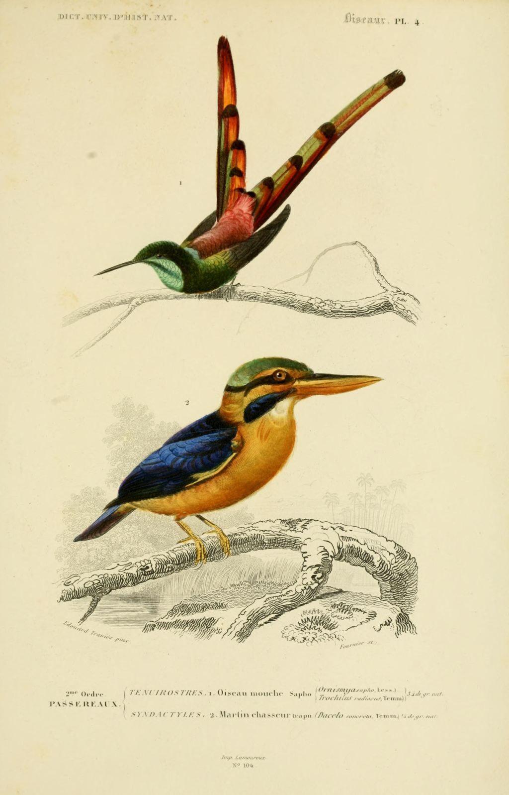 Dessin Oiseau Mouche gravures couleur d'oiseaux - gravure oiseau 0237 oiseau-mouche sapho