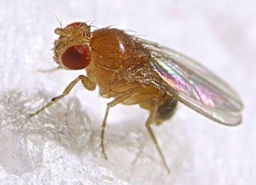 drosophila melanogaster | Arachnology/entomology | Pinterest