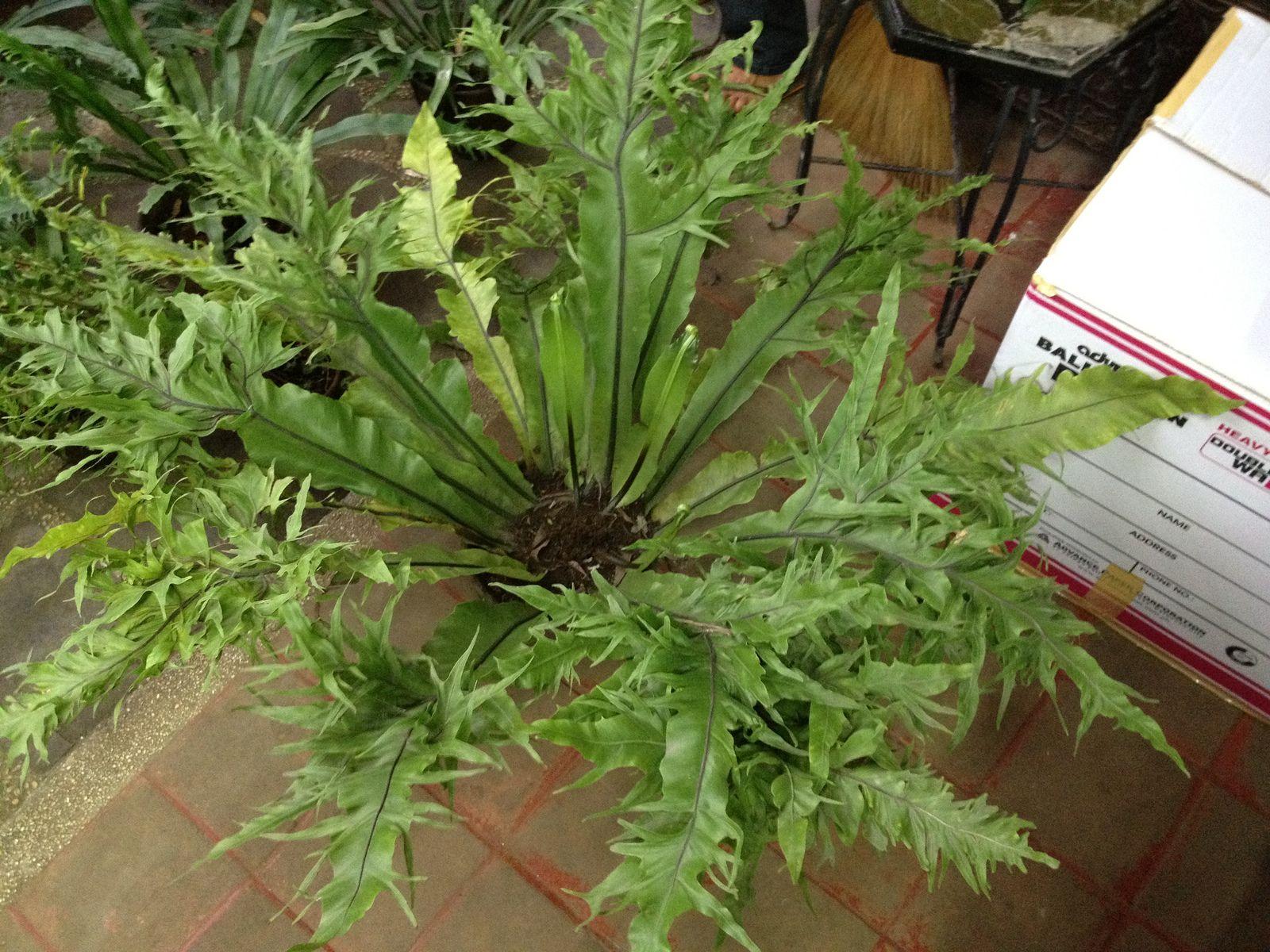 Aureolas Gigantes asplenium | jardín de helechos, helechos y plantas