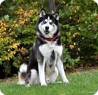 Westminster Md Alaskan Malamute Husky Mix Meet Loki A Dog For